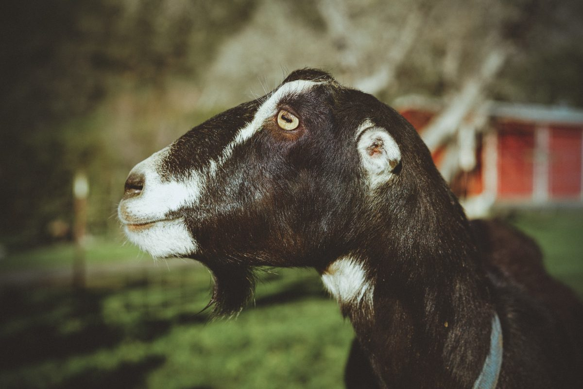 Did You Know That Goats Have Rectangular Pupils?